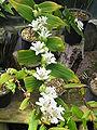 Tricyrtis macrantha2.jpg