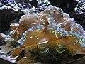Tridacna crocea 01 by Line1.jpg