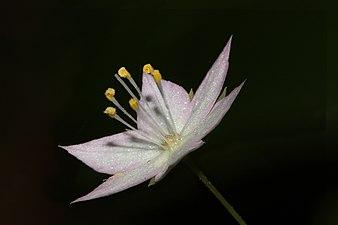 Trientalis latifolia 4976f.JPG