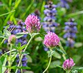 Trifolium pratense in Aveyron (5).jpg