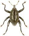Trigonopterus lekiorum holotype - ZooKeys-280-001-g046.jpg