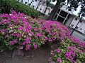Trinitarias Violetas.jpg