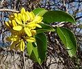 Tristellateia africana - Pemba (9581508019).jpg