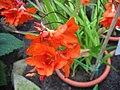 Tritonia crocata (Flower).jpg