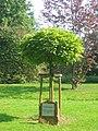 Trompetenbaum Dieburg Schlossgarten.jpg