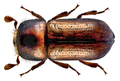 Trypodendron lineatum (Olivier, 1795) Syn.- Xyloterus lineatus (Olivier, 1795) (14044683451).png