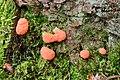 Tubifera ferruginosa - Fischeierschleimpilz - Lachsfarbener Schleimpilz - 01.jpg