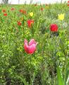 Tulipa-suaveolens-Ukraine.png