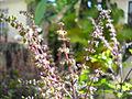 Tulsi flowers (4688466668).jpg