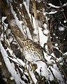 Turdus philomelos -Surrey, England -snow-8 (1).jpg