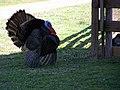 Turkey (6053190229).jpg