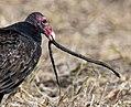 Turkey Vulture stalks, catches and eats live garter snake (30570943315).jpg