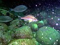 Two-tone fingerfin and Hottentot seabream at Lorry Bay PB011910.JPG