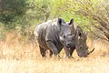 Two Rhino (133259145).jpeg