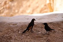Two Tristram's Starlings at Ein Gedi, Israel (1).jpg
