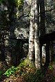 Two birch trunks in front of a cliff in Gullmarsskogens nature reserve.jpg