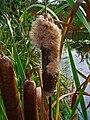 Typha latifolia 003.JPG