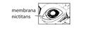U6. Membrana nictitans (A01f).png