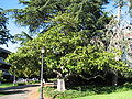UCB Magnolia grandiflora habit.JPG