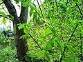 Ulmus glabra-tr.JPG
