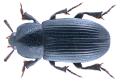 Ulomimus indicus Bates, 1873 (37130215326).png