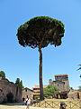 Umbrella Pine (15238429225).jpg
