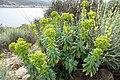 Unbekannte Pflanze Mallorca 4.jpg