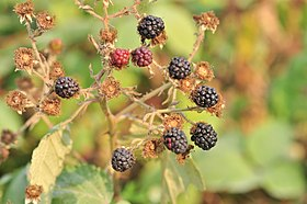 Union Bay Natural Area - Himalayan Blackberry 01.jpg