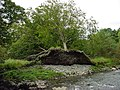 Up-rooted tree - geograph.org.uk - 596277.jpg