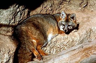 Urocyon - Gray fox