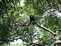 Urubu no Mangue, Sapiranga,Fortaleza, Ceará, Brasil.JPG