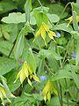 Uvularia grandiflora0.jpg