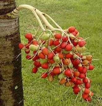 Adonidia merrillii - Image: VEITCHIA merrellii fruits