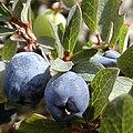 Vaccinium uliginosum fruit cropped.jpg