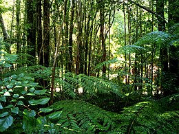 Valdivian temperate rainforest.JPG