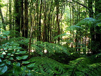 Valdivian temperate rain forest - Trees and understory at Oncol Park