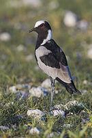 Vanellus armatus - Etosha 2014.jpg