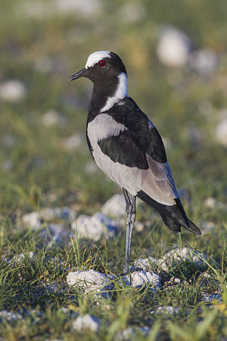 Blacksmith lapwing - At Etosha National Park, Namibia