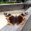 Vanessa atalanta (Admiral) with tattered wings lepidoptera.jpg