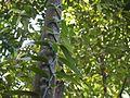 Vanilla planifolia Jacks. ex Andrews (6935168603).jpg