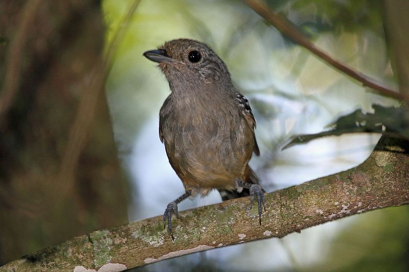 File:Variable Antshrike - Flickr - GregTheBusker (1).jpg