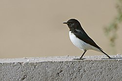 Variable wheatear (Oenanthe picata) from Bikaner JEG5434 a.jpg
