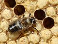 Varroa destructor on drone 66a.jpg