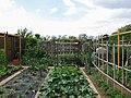 Vegetable garden - spazio degli orti urbani di Legnano quartiere Mazzafame, via della Pace - 2018-05-13.jpg