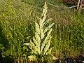 Verbascum thapsus (5242160050).jpg