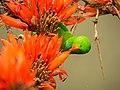 Vernal Hanging Parrot(ঝুলন টিয়া) hello.jpg