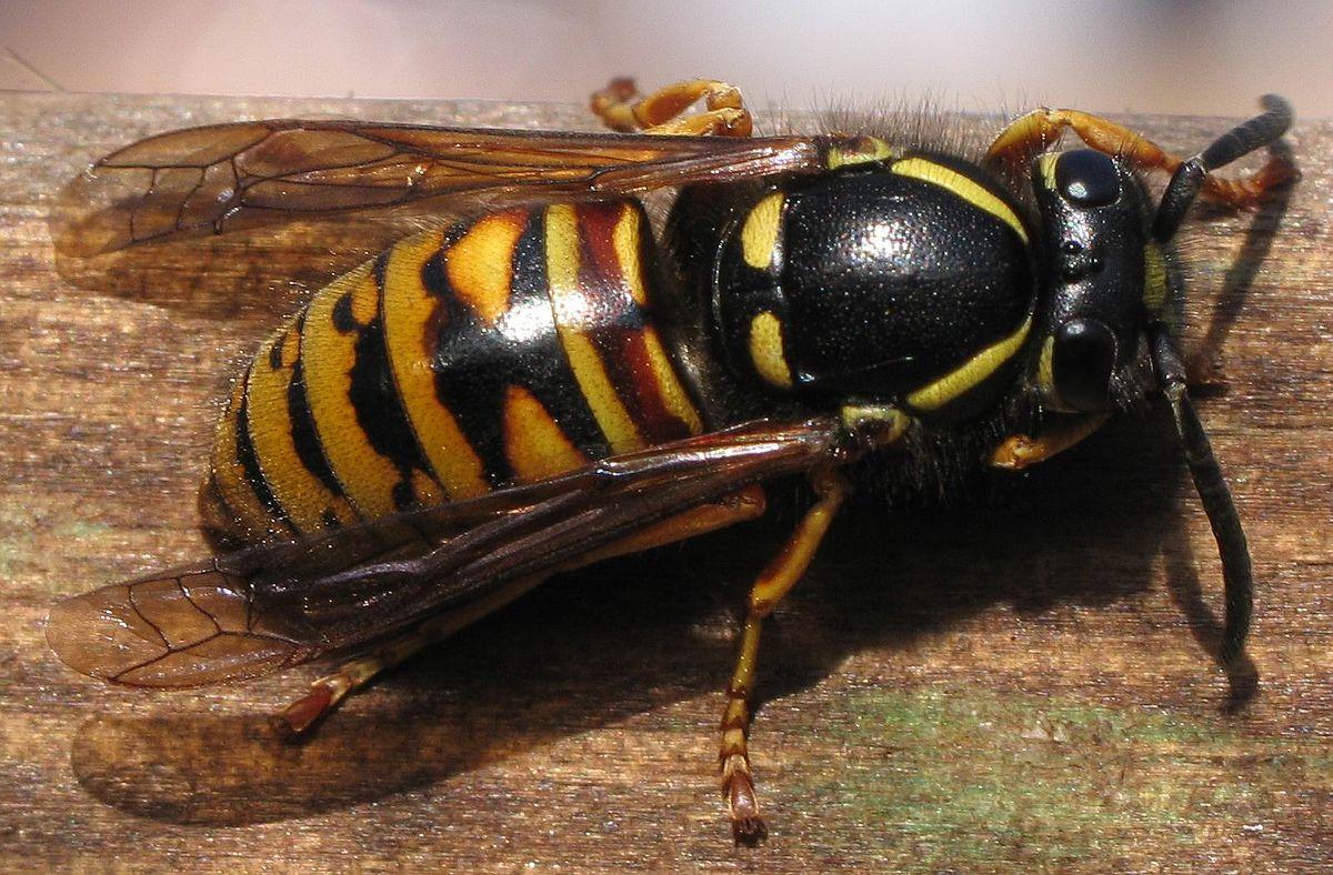 Rote Wespe (Vespula rufa) (Königin)