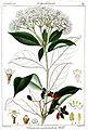 Viburnum acuminatum Rungiah.jpg