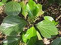Viburnum japonicum1.jpg