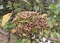 Viburnum rigidum kz02.jpg
